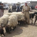 Erbil sheep and goat market, south (Iraqi) Kurdistan.  Source: Gina Lennox, 2014