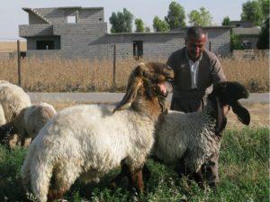 erbil-farmer-with-his-hamdani-sheep